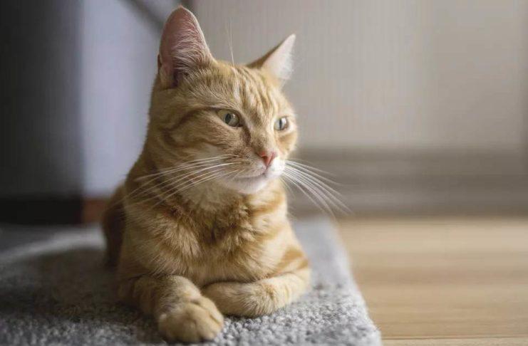 gatto vomita schiuma bianca